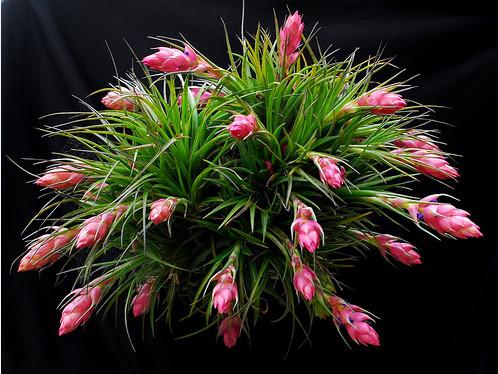 Tillandsia1 необычные комнатные растения